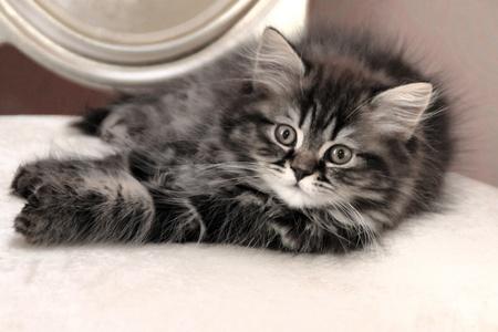 british girl: cat,kitten,child,girl,british cat