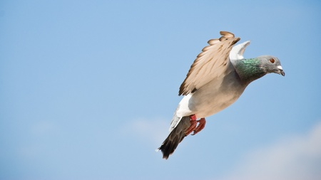 Beautiful mail dove in flight photo