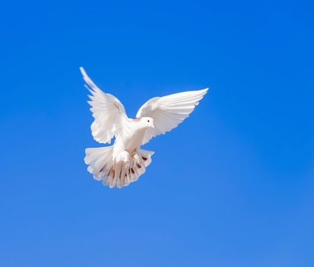 White dove flying in the blue sky photo