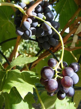 grape and spiderweb on wine, take in lower italy photo