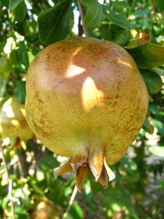 pome: ripe pomegranate fruit hanging in the tree