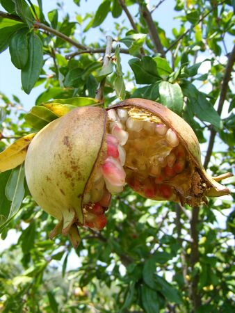 ripe pomegranate fruit hanging in the tree photo