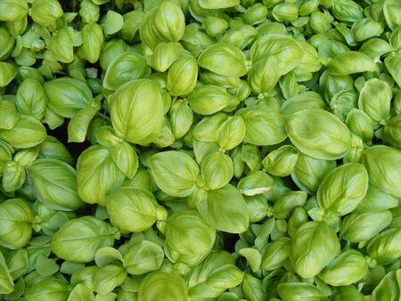 Fresh green basil  photo