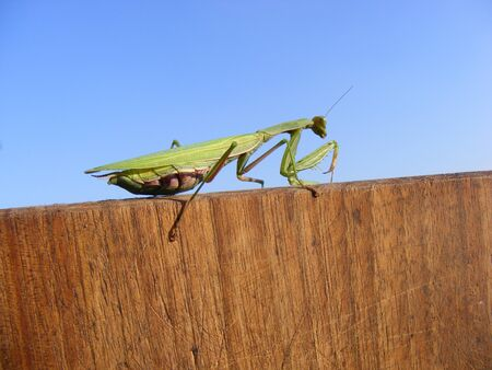 Green Praying Mantis in natural wooden environment photo