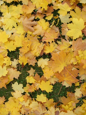 garden with yellow leaves in autumn photo