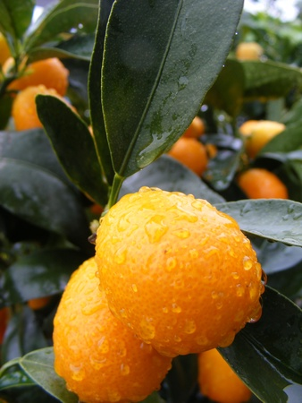 Potted orange Clementine Mandarin Tree  photo