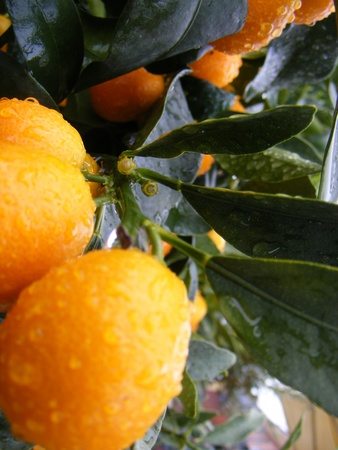 Potted orange Clementine Mandarin Tree  Stock Photo - 12853753