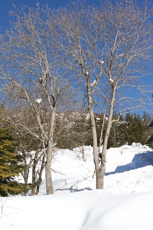 tree in the snowy mountains photo