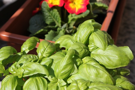 Basil herb plant growing in a pot in summer  photo
