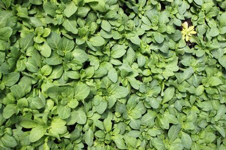 Lines of small plants growing in a greenhouse  Stock Photo - 13792822