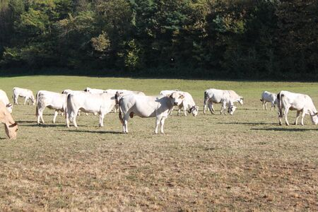 Cows grazing in a green pasture on sustainable small scale farm  photo