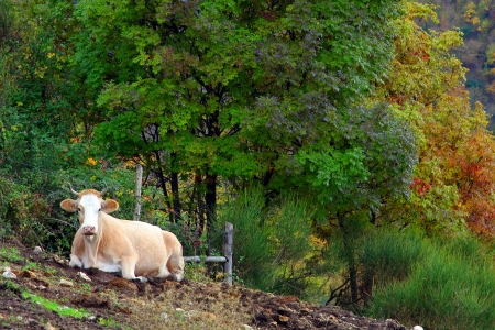 ruminate: Cow on the grass, in Autumn Stock Photo
