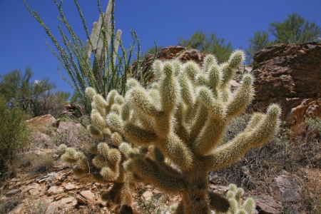 cholla: The teddy bear cholla is named for its furry  Stock Photo