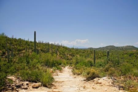 Giant Saguaro Cactus Landscape , Saguaro National Park, Sonoran Desert, Tucson, Arizona photo