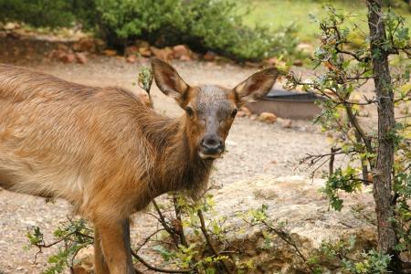 wapiti: Wapiti Elk against in the Grand Canyon - Arizona USA 4 Stock Photo