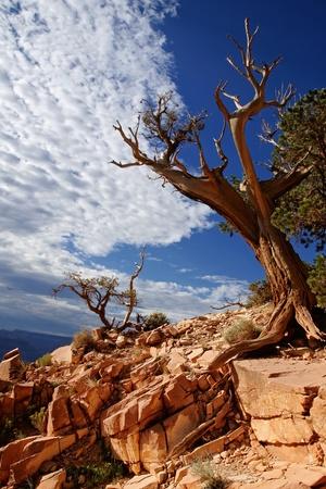plateau point: Dead tree - Grand canyon, Arizona USA