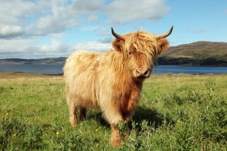 フィールドにスコットランドのハイランド牛のクローズ アップ 写真素材