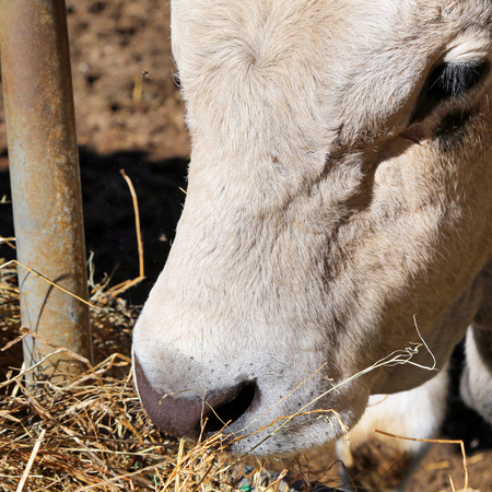jersey cattle: A cow eating hay leaning through the rails of a metal barn Stock Photo