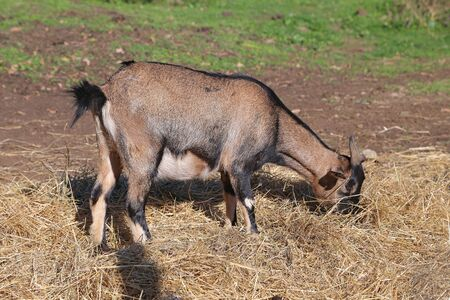 brown goat: Brown goat eating hay
