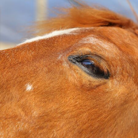 equitation: Close up of an brown horse eye with blur background