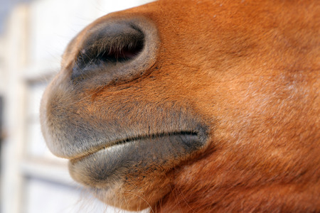 nose close up: An abstract shot of the muzzle of a horse with blur backgruound