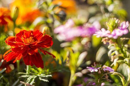 Rode bloei in zonlicht Stockfoto