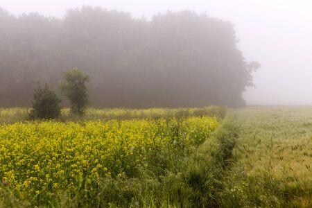 Het gebied van het raapzaad in mist Stockfoto - 72379679