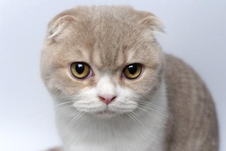 Portret Schotse Vouwkat