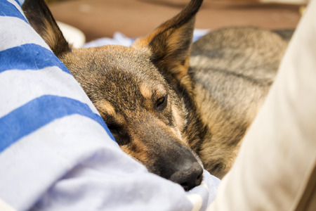 Hond die tussen kussens ligt
