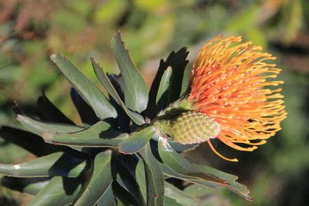 pinhead: Pinhead Protea