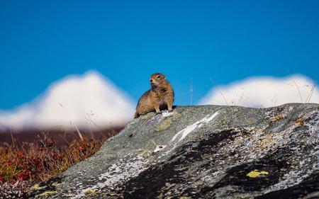 Arctic ground squirrel in the Alaska Range