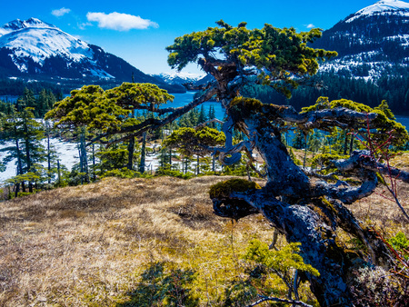 esther: Windswept natural bonsai spruce in Prince William Sound, Alaska