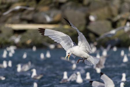 A seagull makes an aggressive dive in Prince William Sound, Alaska Standard-Bild