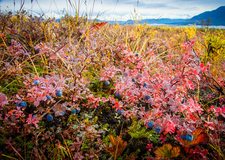 Morning dew covers a patch of wild blueberries in red fall colors in the remote Alaska Range mountains