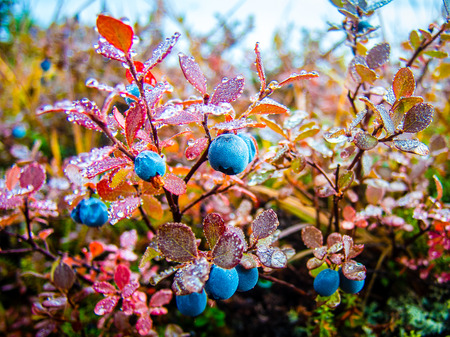 Wild blueberries in their fall colors on the Alaskan tundra