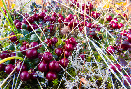 A prolific, ripe patch of lingonberries grows on the Alaskan tundra Standard-Bild