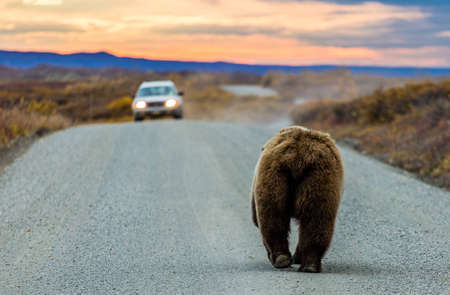 A large grizzly bear walks off into the sunset and toward a car on the Denali National Park road