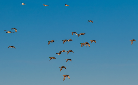 Several male and female mallards fly south for the winter through Fairbanks, Alaska