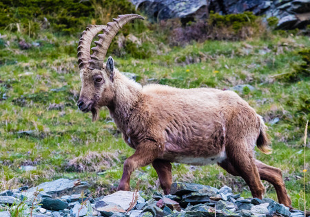This ibex Capra ibex was foundin the mountains overlooking Zermatt, Switzerland