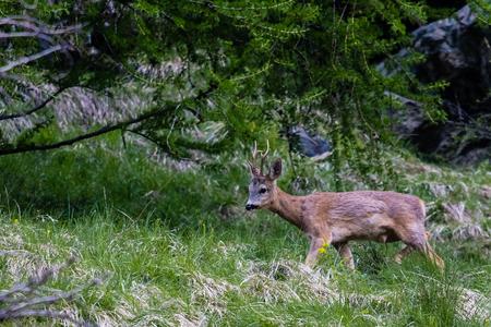 A male roe deer grazes on a mountainside above Zermatt, Switzerland