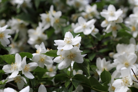 philadelphus: Mock-orange  philadelphus  shrub Stock Photo