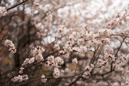 Apricot tree flower, seasonal floral nature background, shallow depth of field spring