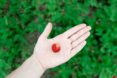 closeup view of Hands holding fresh strawberry collected in the organic