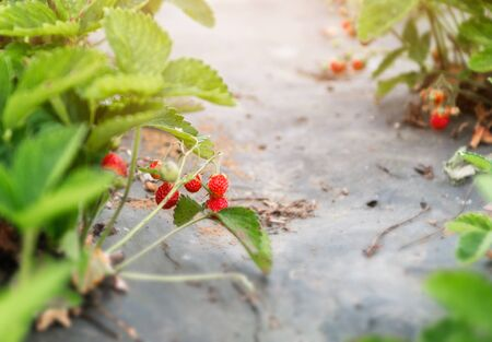New harvest of sweet fresh outdoor red strawberry, growing outside in soil, with ripe tasty strawberries