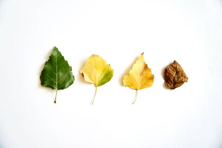 Aging leaves in progress, life cycle. Autumn arrives - september october. Isolated Stockfoto
