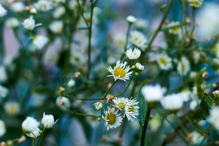 Full bloom of chamomile flowers. Rural wild flowers. Small. Background soft focus