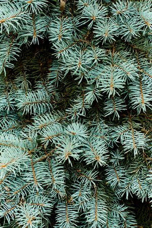 Fir trees close up. many branches. beautiful nature
