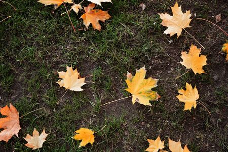 Colorful fall maple leaves on a background of green grass. Top view. October