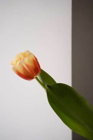 One tulip white wall background. Minimal concept of cozy home. Japandi style. Simple home decor