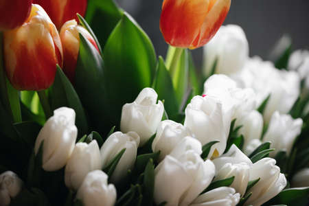 Close up red and white tulips photo. Spring concept. natural girly background. flowers design. Slow living mindful life Banco de Imagens
